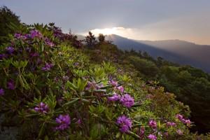 Looduslikud Catawba rododendronid Põhja-Ameerikas