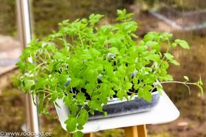 Tomati ja paprika taimede ettekasvatamine