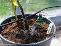 keraamiline andur kastmas ämbrisse istutatud tomatitaime