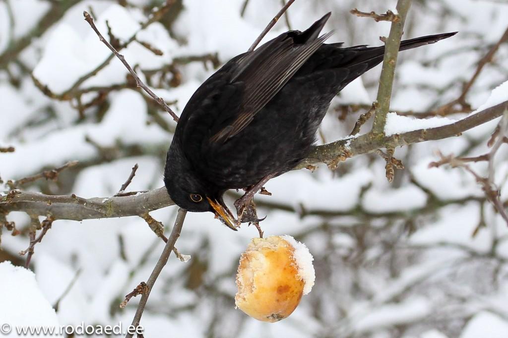 Lindude talvine toitmine