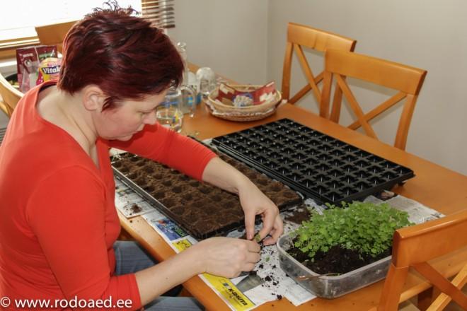 taimede pikeerimine