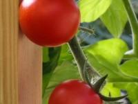 tomatisordid