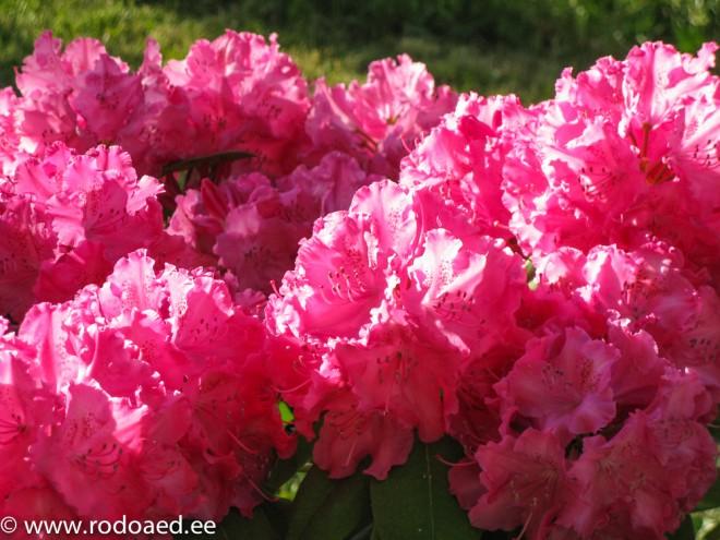 Rododendroni õis_Germania