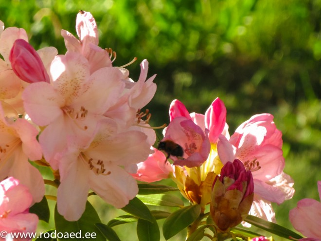 Rododendroni õis_mesilasega