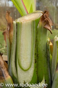 banaani kasvatamine kodus