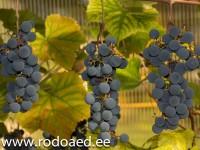 viinamarjad-1
